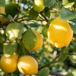 8 Tips for Growing Lemon Trees in Large Planters