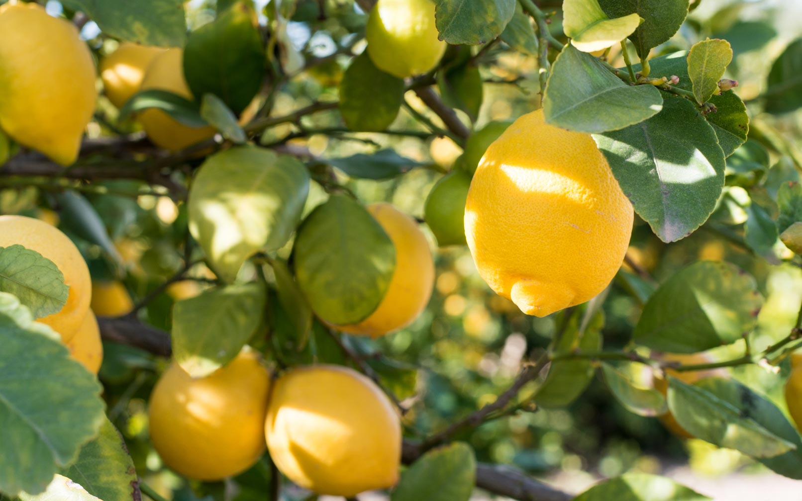 8 Tips For Growing Lemon Trees In Large Plantersterracast