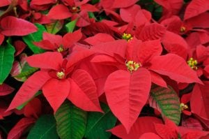 Close up of red poinsettia flowers